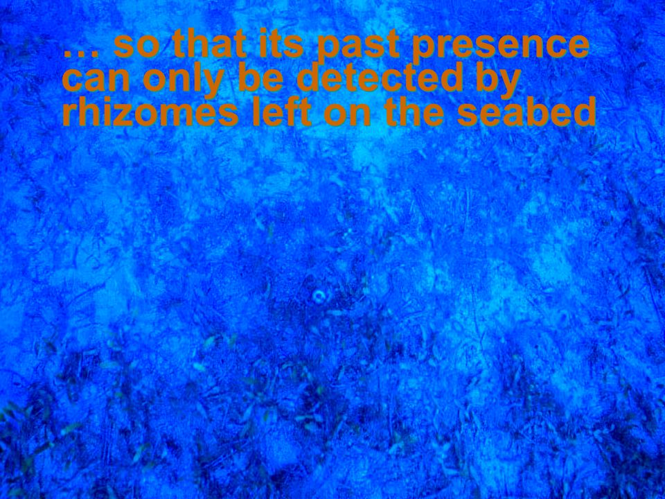 4/14/2017 … so that its past presence can only be detected by rhizomes left on the seabed