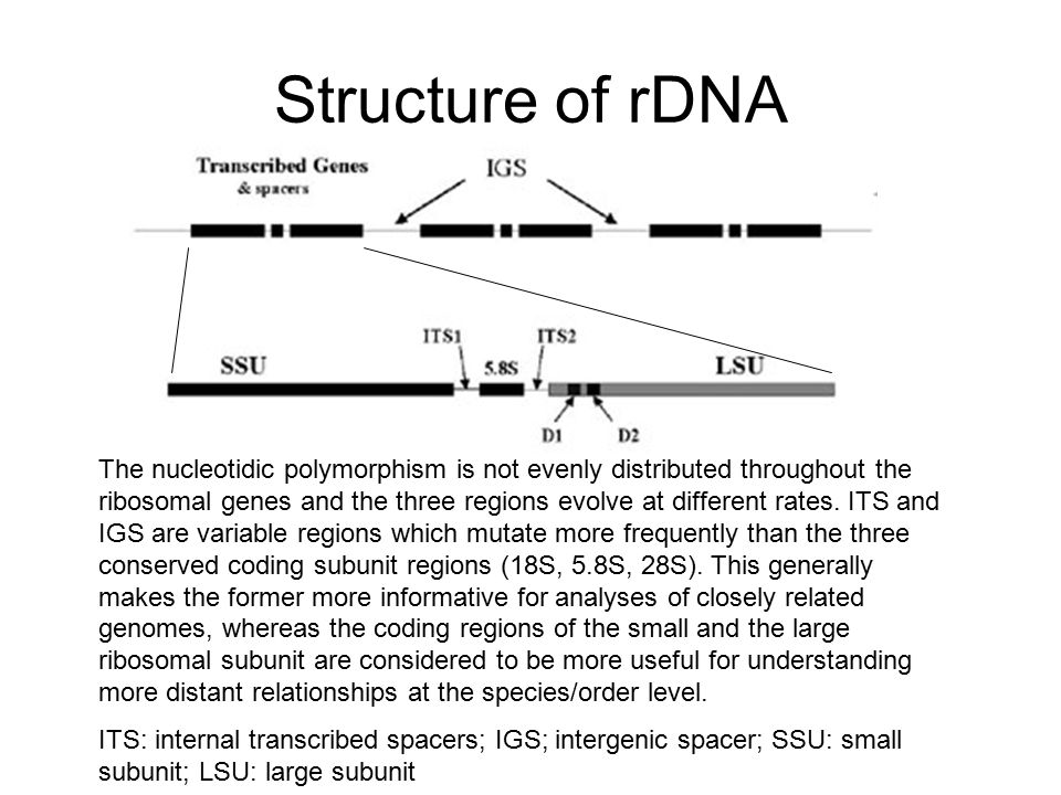 Structure of rDNA