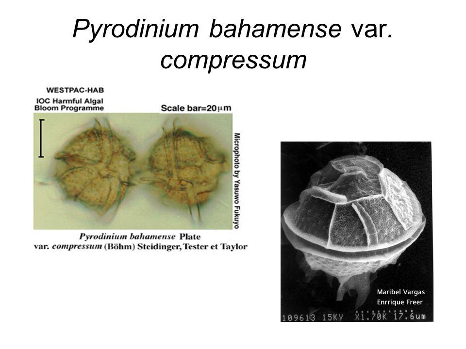 Pyrodinium bahamense var. compressum