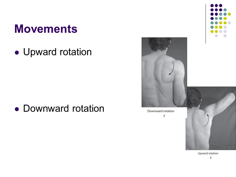 Movements Upward rotation Downward rotation