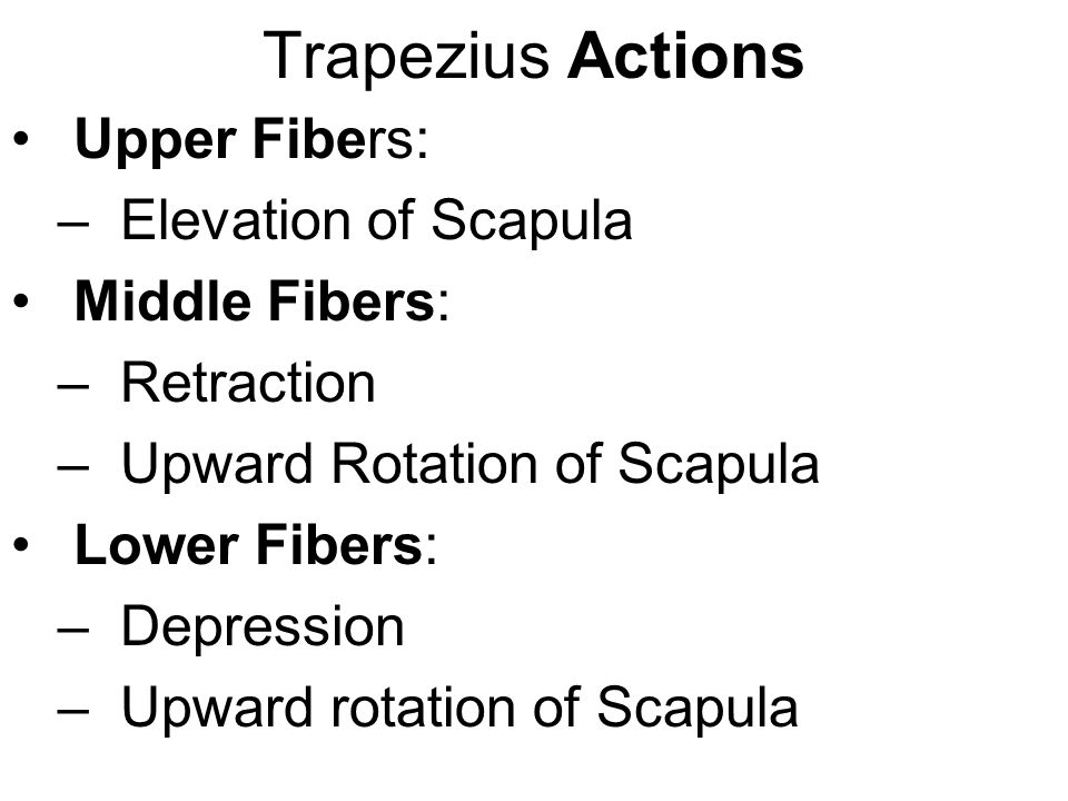 Trapezius Actions Upper Fibers: Elevation of Scapula Middle Fibers: