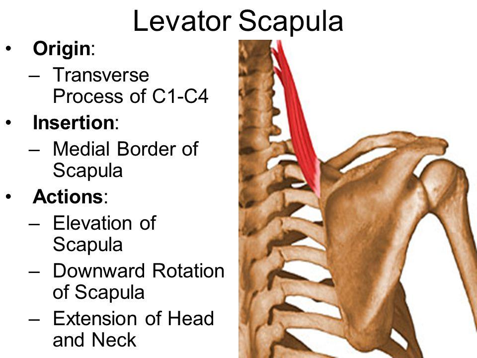 Levator Scapula Origin: Transverse Process of C1-C4 Insertion: