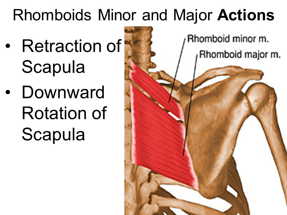 Rhomboids Minor and Major Actions