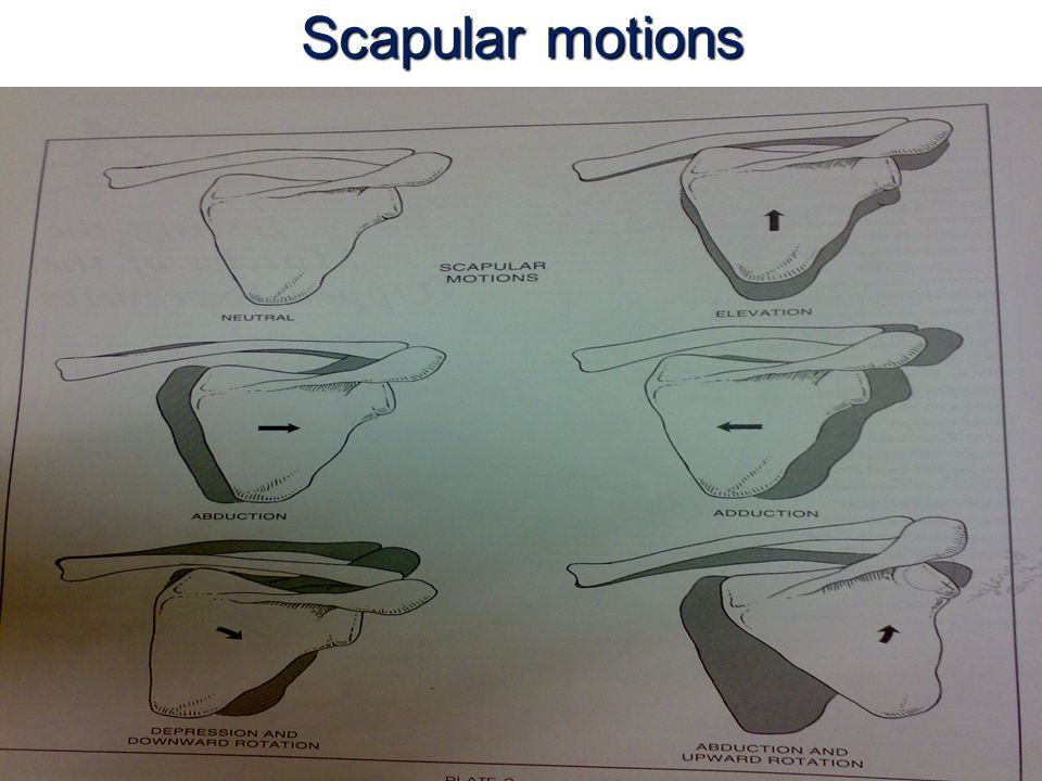 Scapular motions