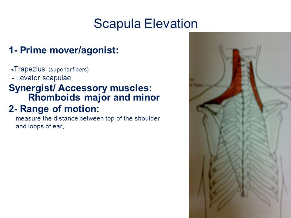 Scapula Elevation 1- Prime mover/agonist: