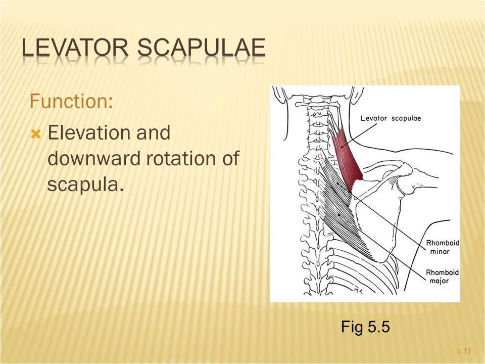 Levator Scapulae Function: Elevation and downward rotation of scapula.