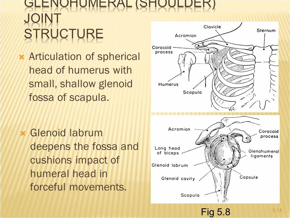 GLENOHUMERAL (Shoulder) JOINT Structure