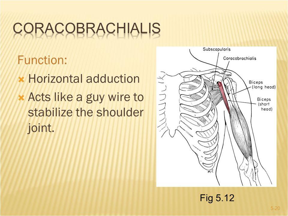 Coracobrachialis Function: Horizontal adduction