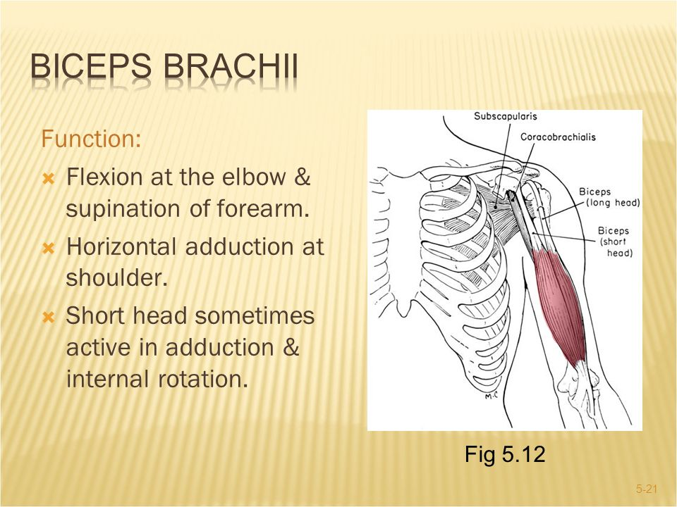 Biceps Brachii Function: Flexion at the elbow & supination of forearm.