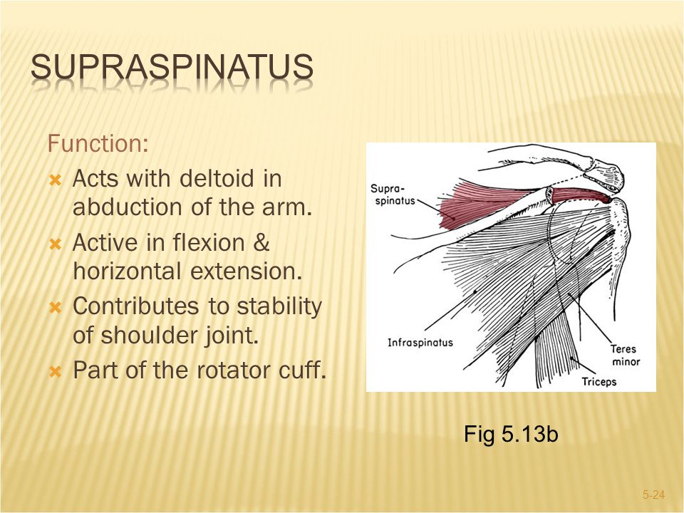 Supraspinatus Function: Acts with deltoid in abduction of the arm.
