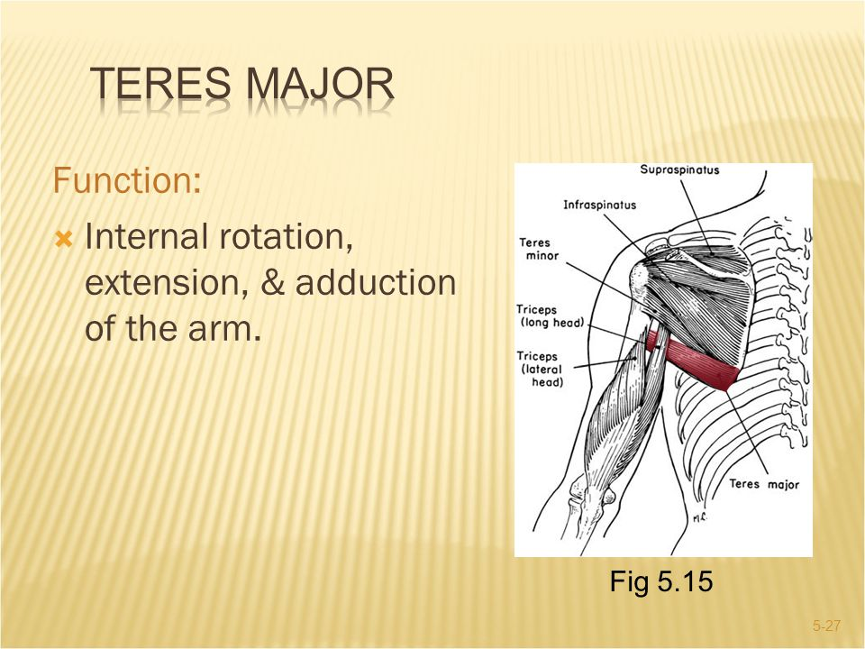 Teres Major Function: Internal rotation, extension, & adduction of the arm. Fig 5.15