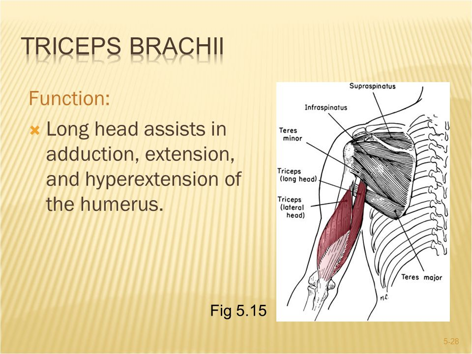 Triceps Brachii Function: