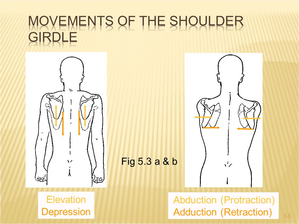 Movements of the Shoulder Girdle