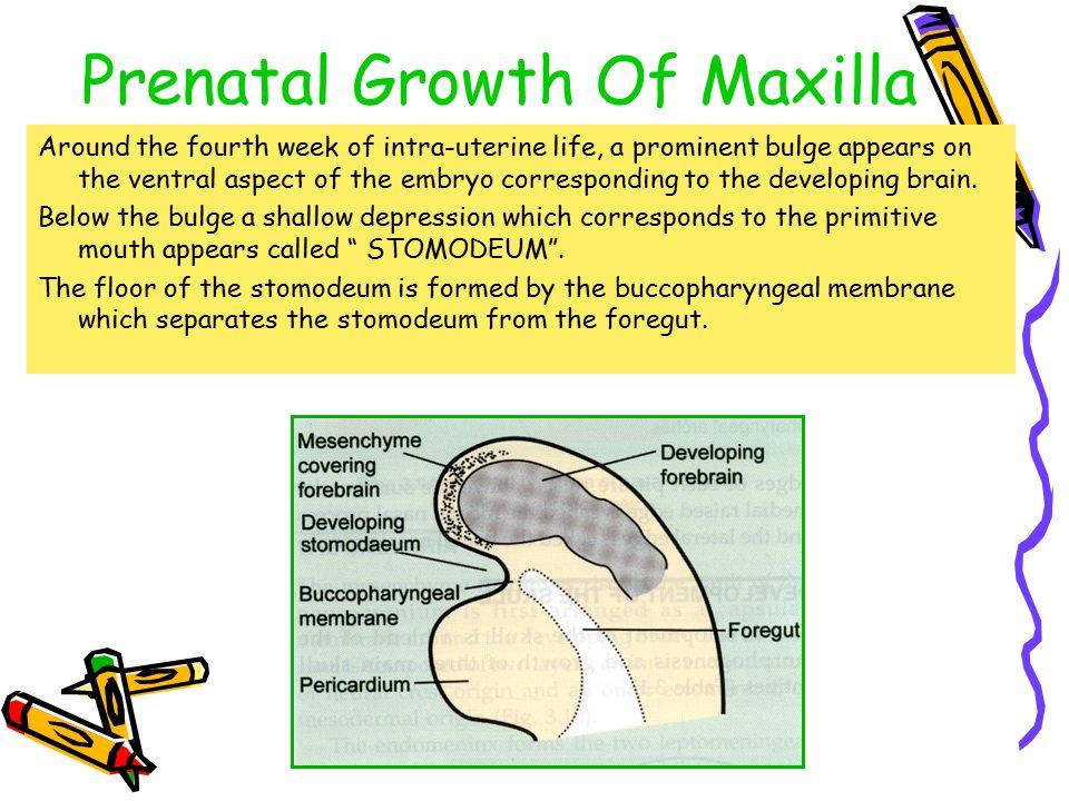 Prenatal Growth Of Maxilla