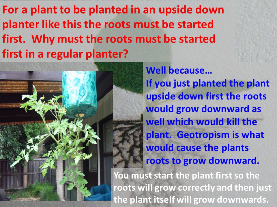 For a plant to be planted in an upside down planter like this the roots must be started first. Why must the roots must be started first in a regular planter
