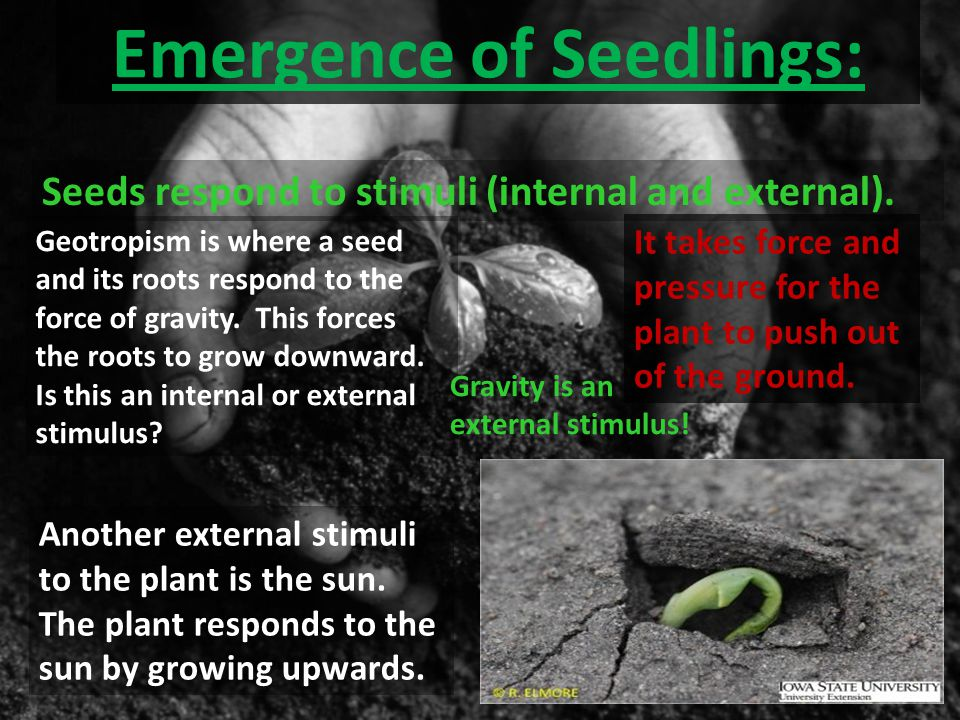 Emergence of Seedlings: