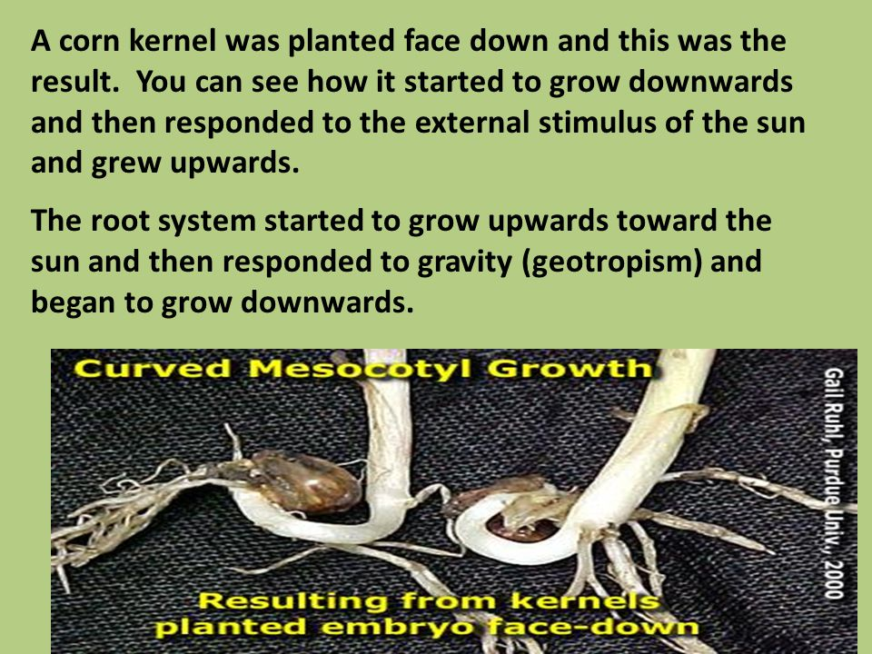 A corn kernel was planted face down and this was the result