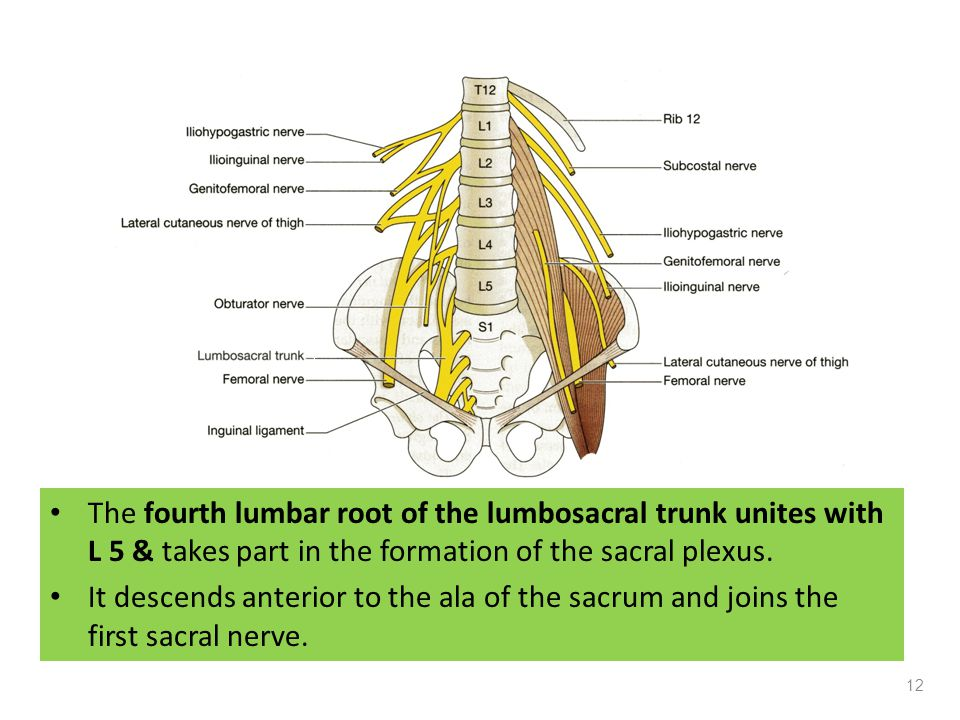 The fourth lumbar root of the lumbosacral trunk unites with L 5 & takes part in the formation of the sacral plexus.