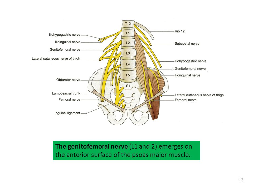 The genitofemoral nerve (L1 and 2) emerges on the anterior surface of the psoas major muscle.