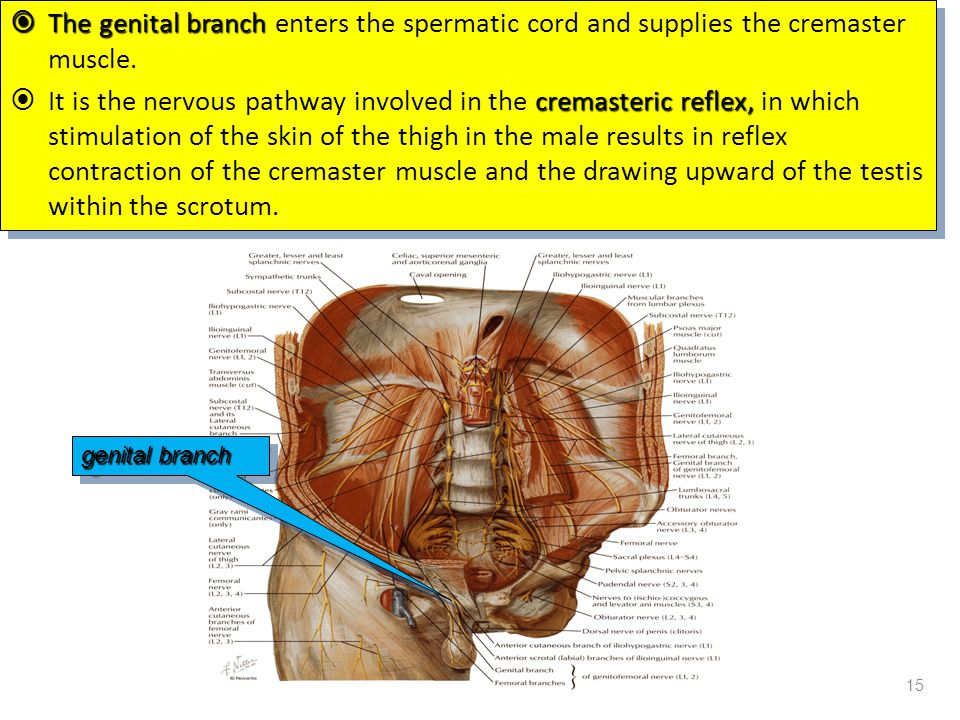The genital branch enters the spermatic cord and supplies the cremaster muscle.