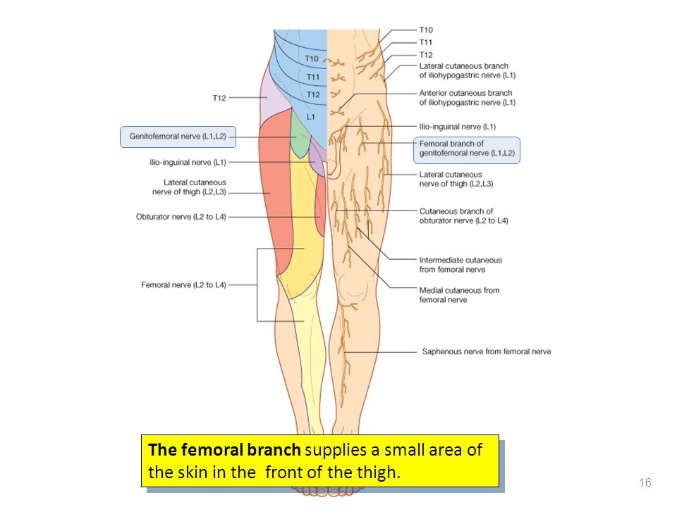 The femoral branch supplies a small area of the skin in the front of the thigh.