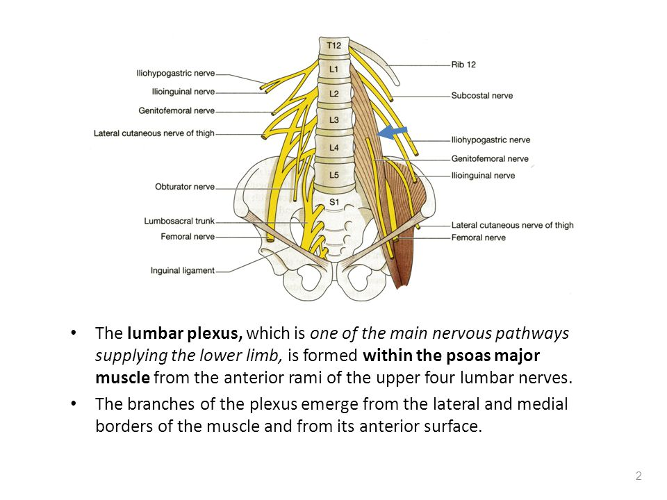The lumbar plexus, which is one of the main nervous pathways supplying the lower limb, is formed within the psoas major muscle from the anterior rami of the upper four lumbar nerves.