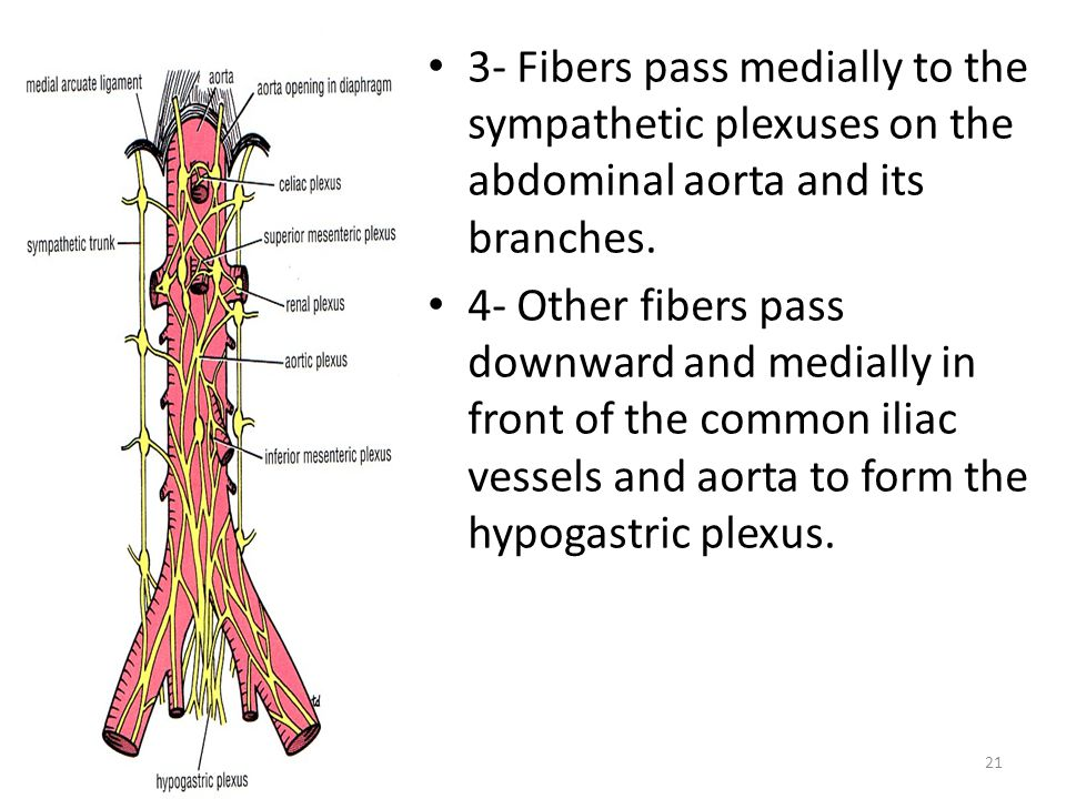3- Fibers pass medially to the sympathetic plexuses on the abdominal aorta and its branches.