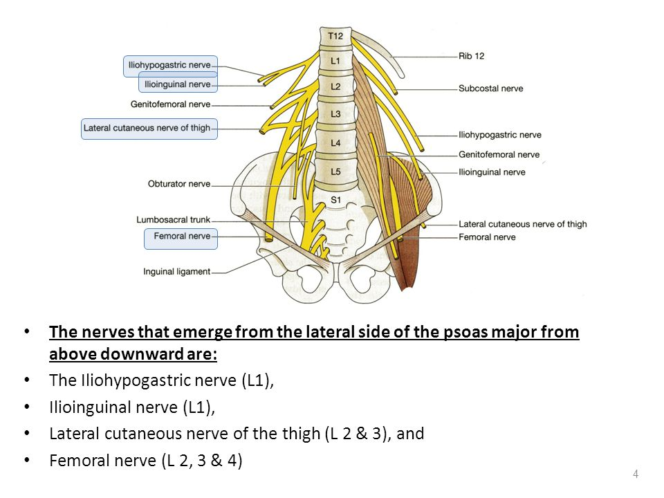 The nerves that emerge from the lateral side of the psoas major from above downward are: