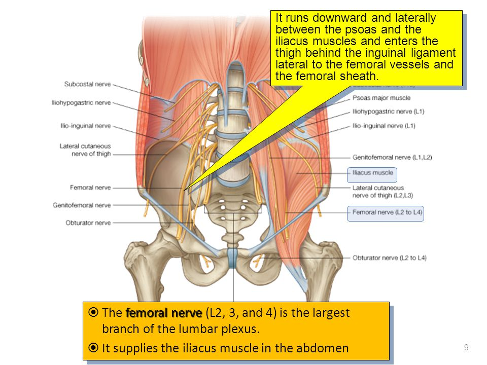 It supplies the iliacus muscle in the abdomen