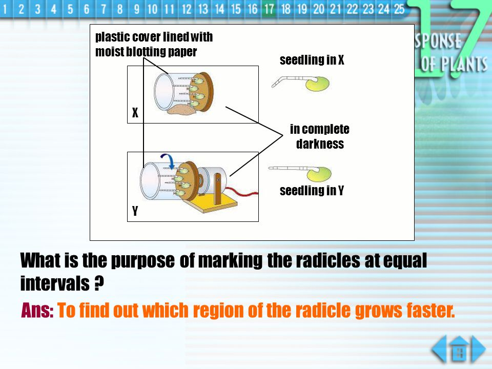What is the purpose of marking the radicles at equal intervals