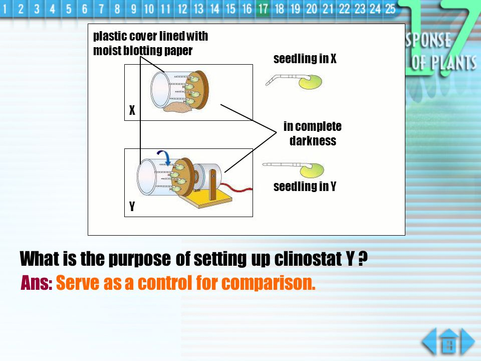 What is the purpose of setting up clinostat Y