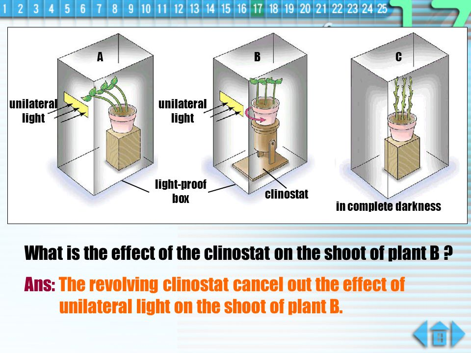 What is the effect of the clinostat on the shoot of plant B