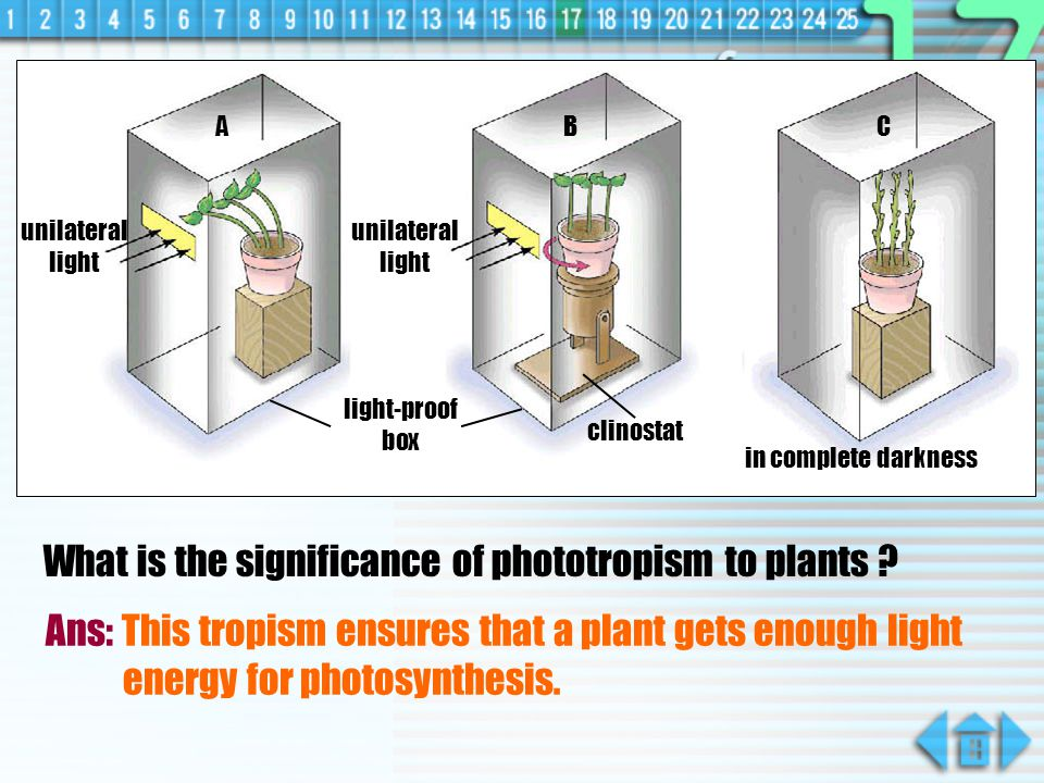 What is the significance of phototropism to plants