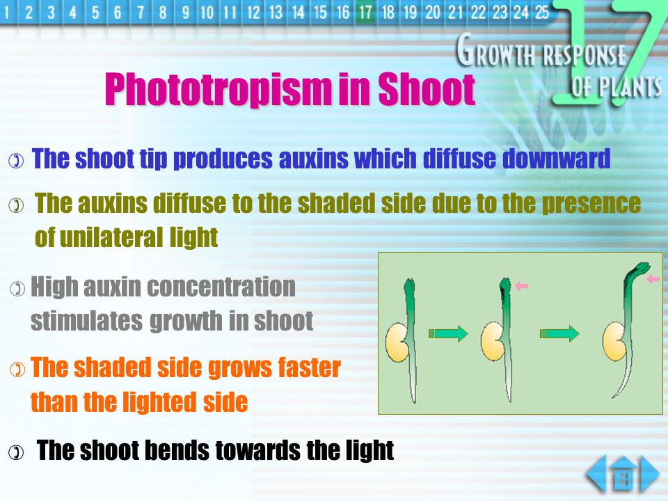 Phototropism in Shoot The shoot tip produces auxins which diffuse downward.