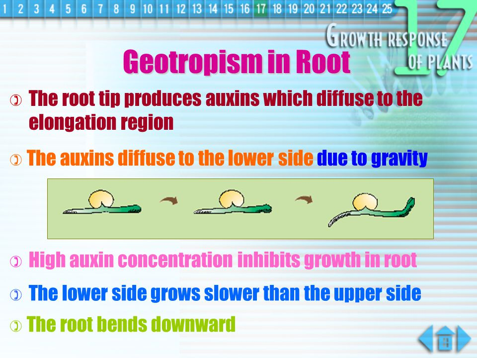 Geotropism in Root The root tip produces auxins which diffuse to the elongation region. The auxins diffuse to the lower side due to gravity.