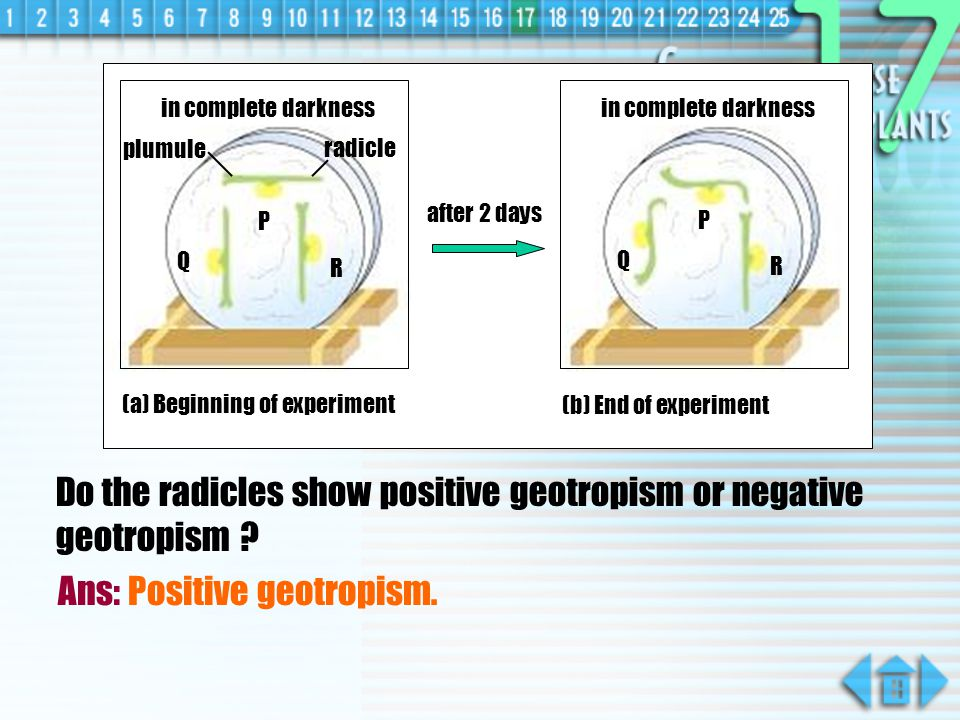 Do the radicles show positive geotropism or negative geotropism