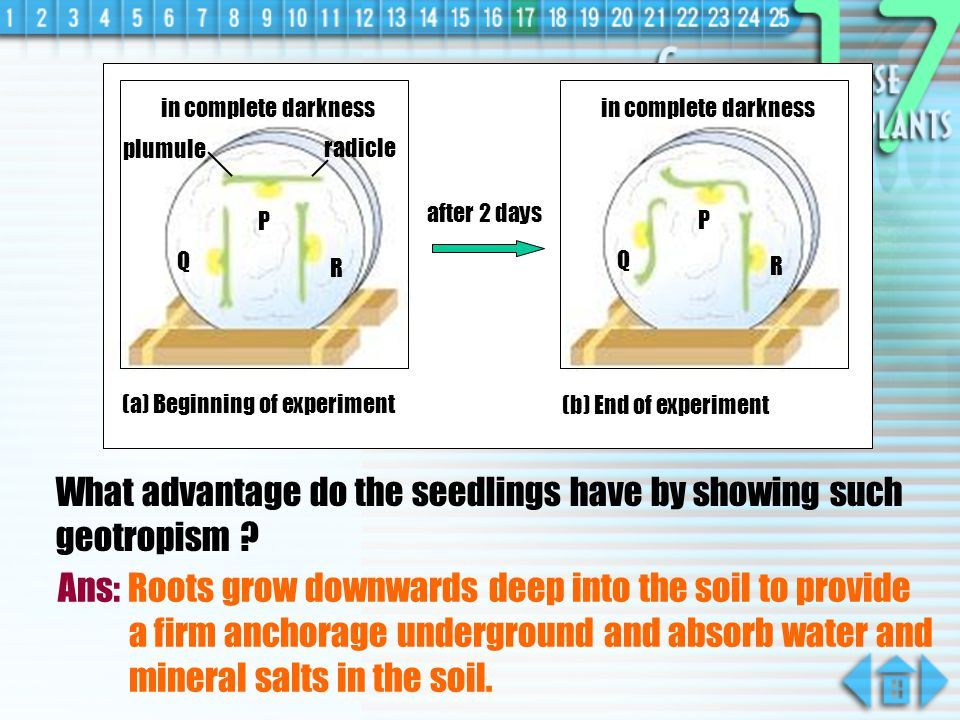 What advantage do the seedlings have by showing such geotropism