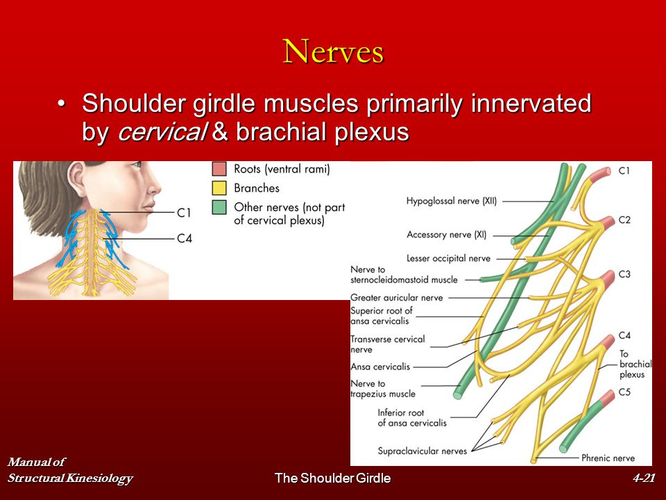 Nerves Shoulder girdle muscles primarily innervated by cervical & brachial plexus. Manual of Structural Kinesiology.