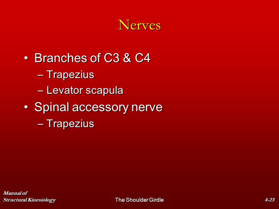 Nerves Branches of C3 & C4 Spinal accessory nerve Trapezius