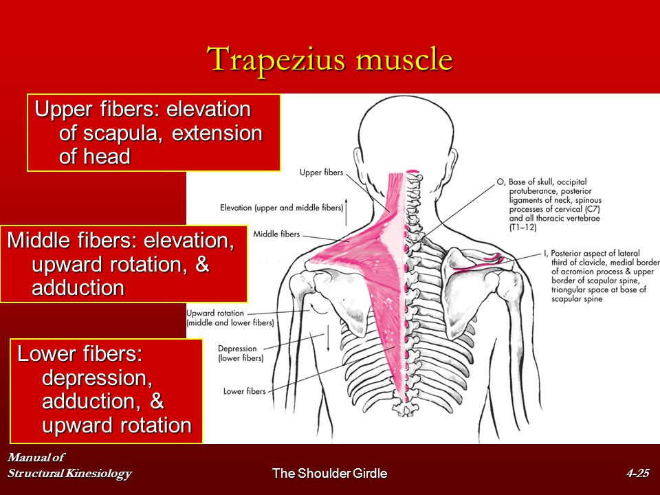 Trapezius muscle Upper fibers: elevation of scapula, extension of head