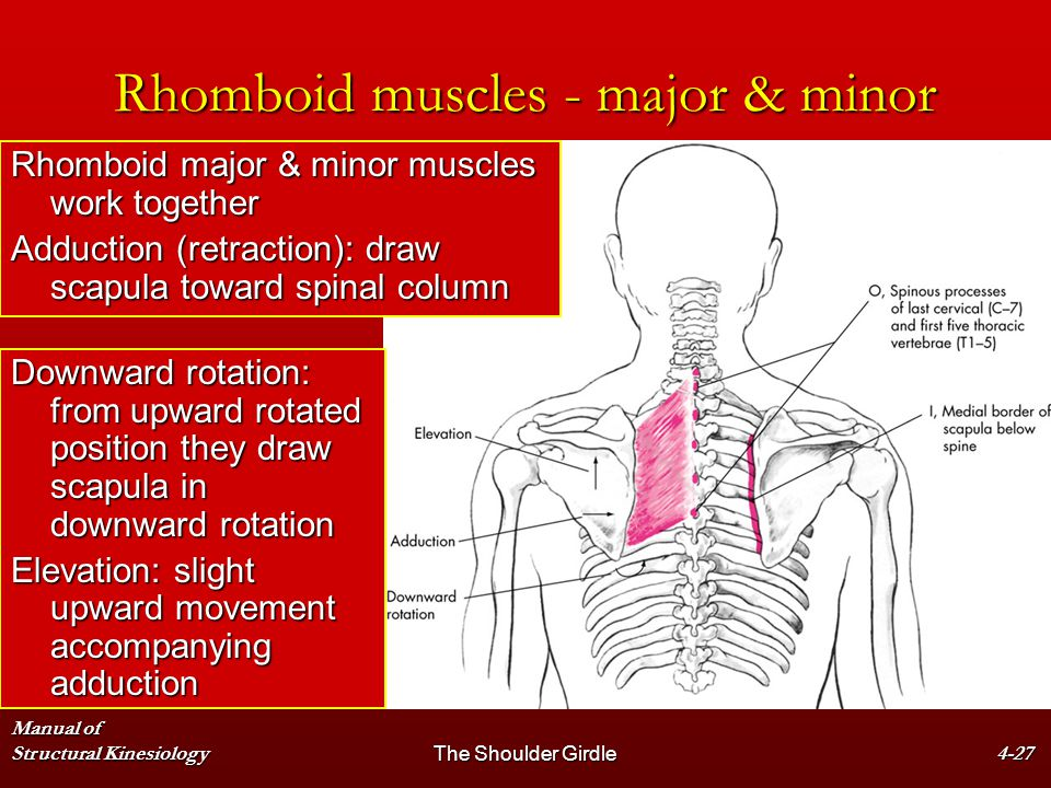 Rhomboid muscles - major & minor