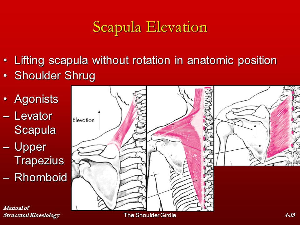 Scapula Elevation Lifting scapula without rotation in anatomic position. Shoulder Shrug. Agonists.