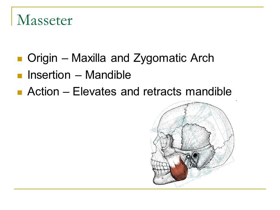 Masseter Origin – Maxilla and Zygomatic Arch Insertion – Mandible