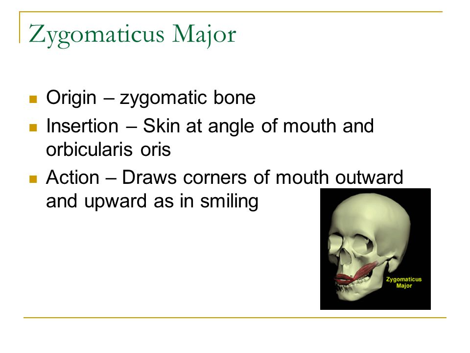 Zygomaticus Major Origin – zygomatic bone