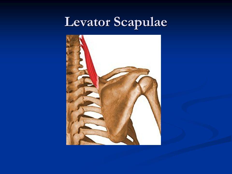 Levator Scapulae