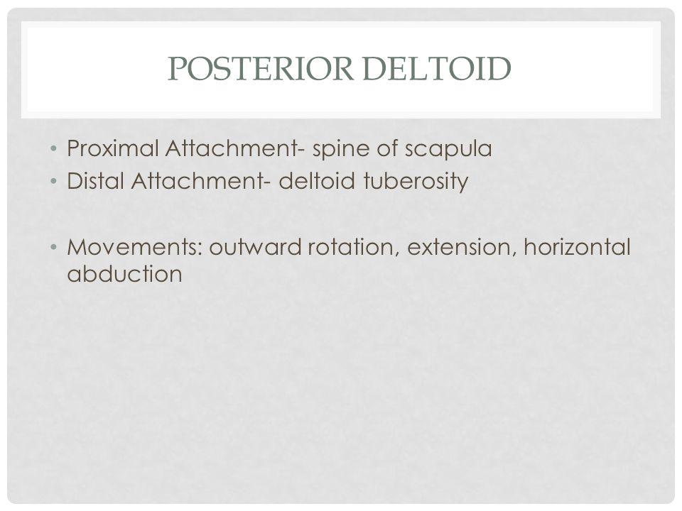Posterior Deltoid Proximal Attachment- spine of scapula