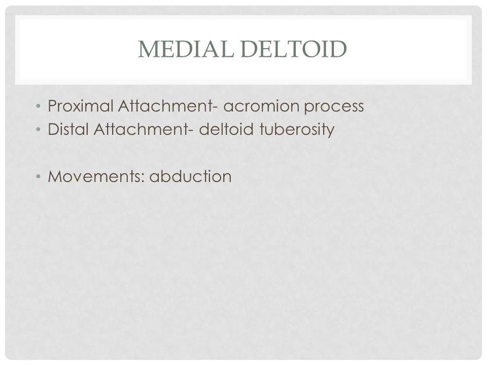 Medial Deltoid Proximal Attachment- acromion process