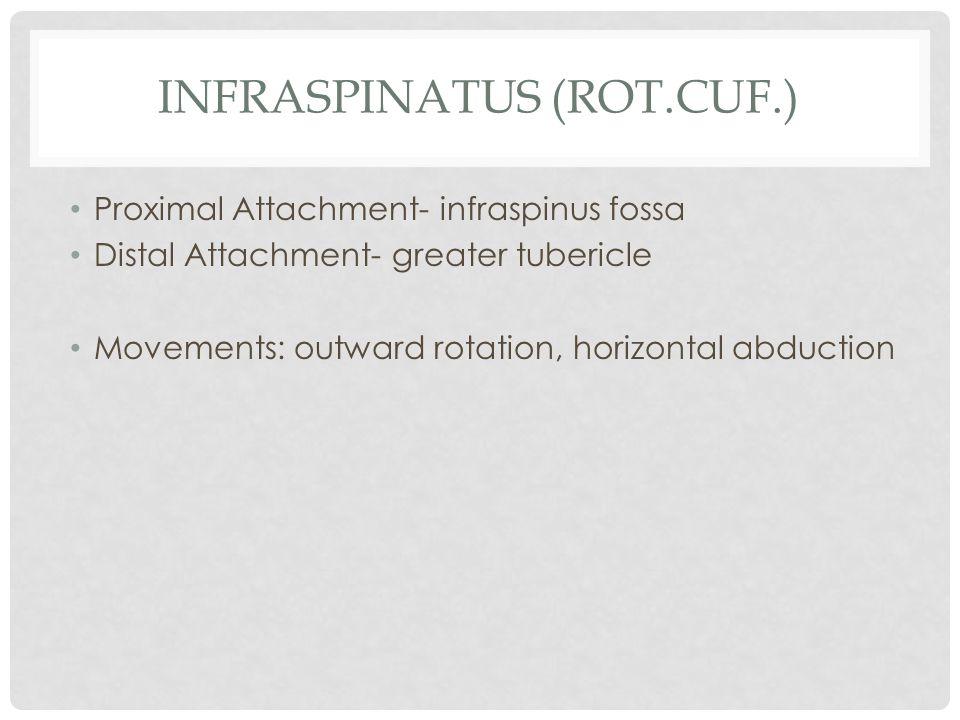 Infraspinatus (rot.cuf.)