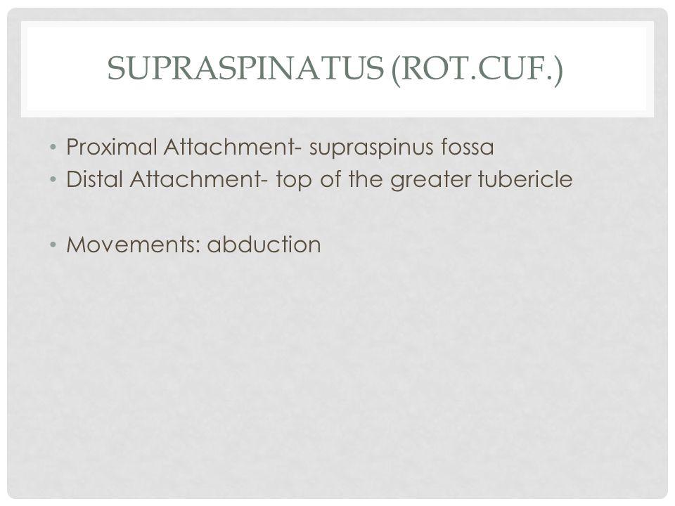 Supraspinatus (rot.cuf.)