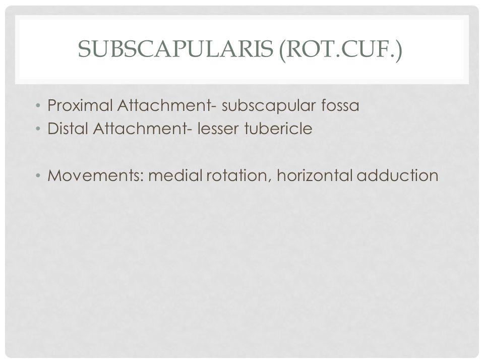 Subscapularis (rot.cuf.)